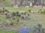 Deer & bluebonnets out kitchen window