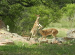 Fawns playing in back of house